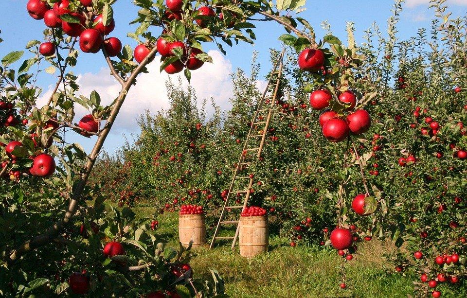 Pálenka z jablek
